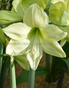 HIPPEASTRUM (AMARYLLIS SPECIALTY) DIAMOND 'FANTASY' 26/28 CM. (6 P.OPEN TOP BOX)