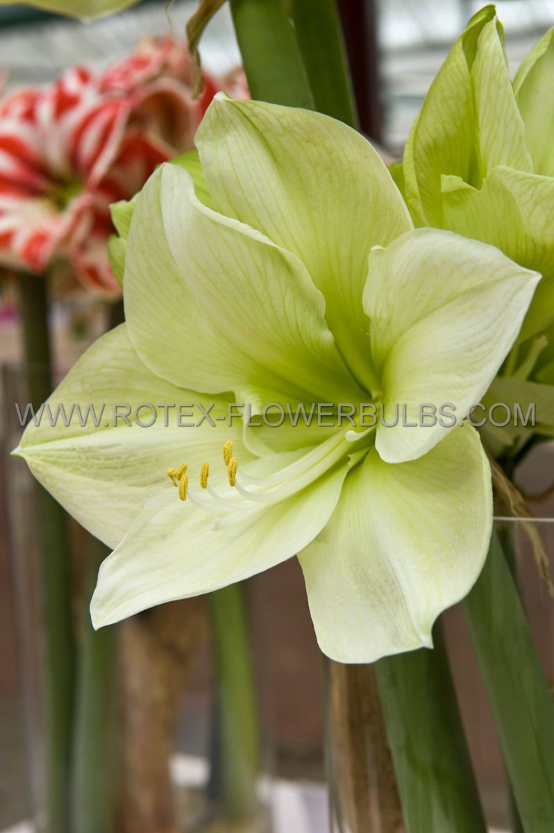 hippeastrum amaryllis specialty diamond fantasy 2628 cm 30 pcarton
