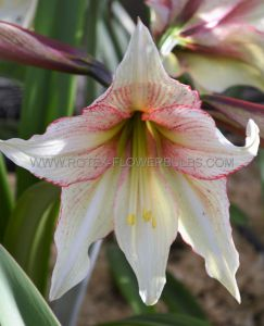 HIPPEASTRUM (AMARYLLIS SPECIALTY) DIAMOND 'MAGIC GREEN' 26/28 CM. (18 P.WOODEN CRATE)