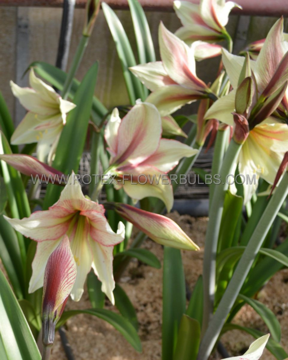 hippeastrum amaryllis specialty diamond magic green 2628 cm 18 pwooden crate