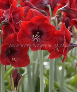 HIPPEASTRUM (AMARYLLIS SPECIALTY) DIAMOND 'RAPIDO' 26/28 CM. (6 P.OPEN TOP BOX)