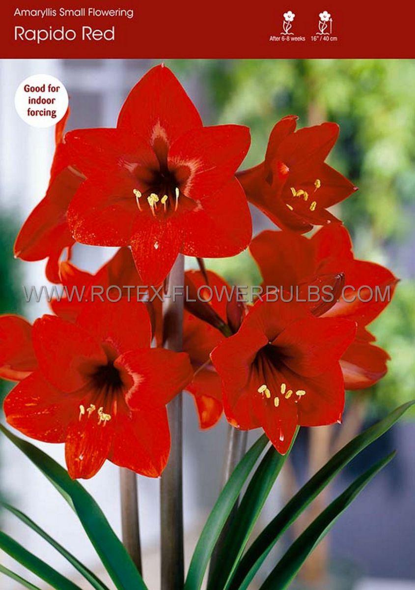 hippeastrum amaryllis specialty diamond rapido 2628 cm 6 popen top box