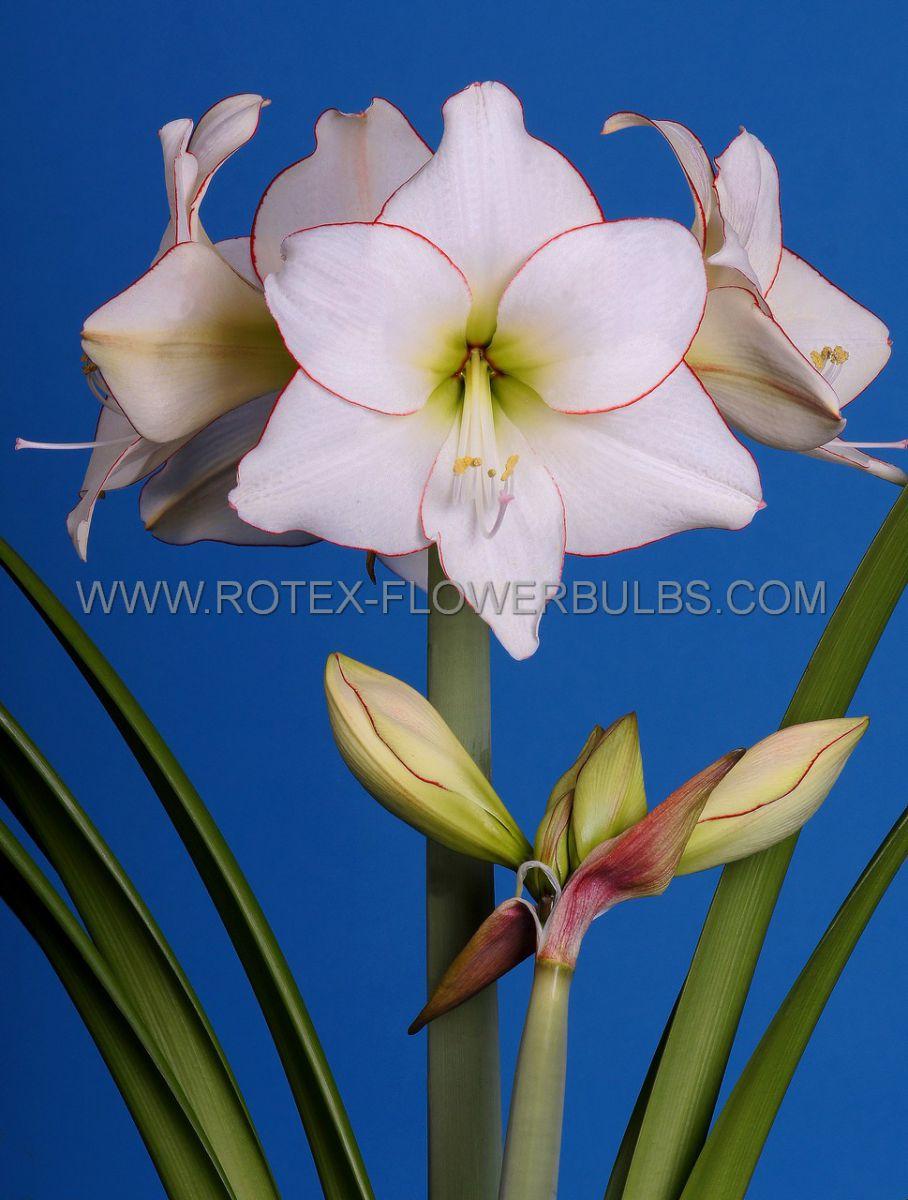 hippeastrum amaryllis specialty midi picotee 2628 cm 18 pwooden crate