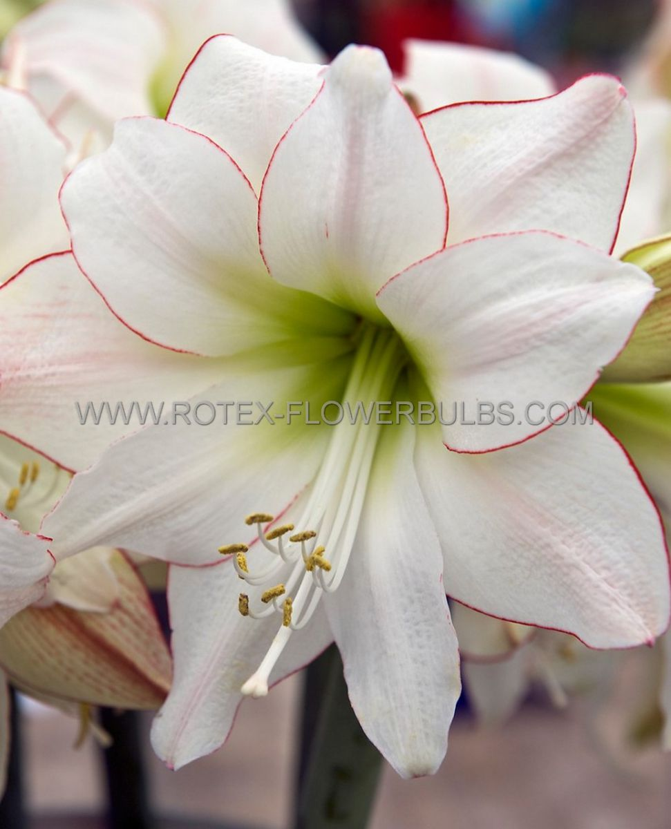 hippeastrum amaryllis specialty midi picotee 2628 cm 30 pcarton