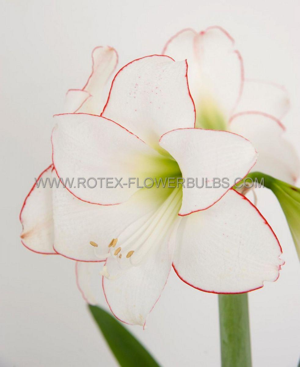 hippeastrum amaryllis specialty midi picotee 2628 cm 6 popen top box