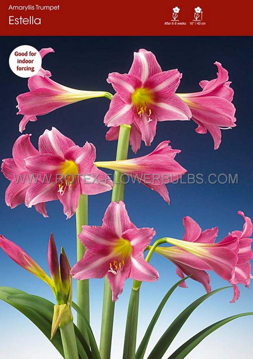 hippeastrum amaryllis specialty trumpet estella 2628 cm 30 pcarton