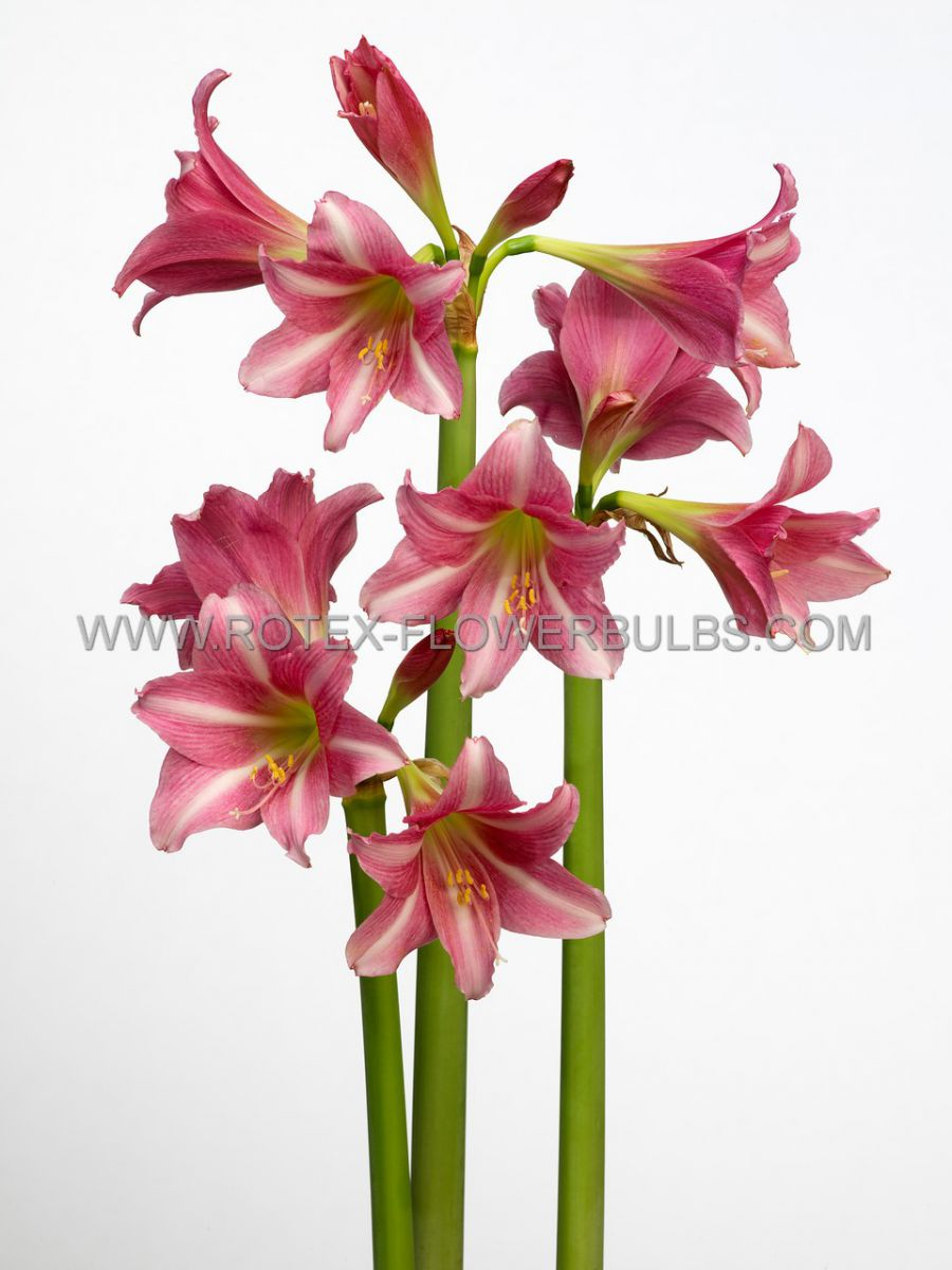 hippeastrum amaryllis specialty trumpet estella 2628 cm 18 pwooden crate