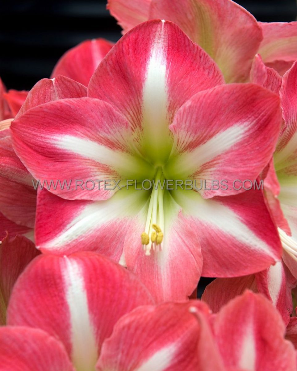 hippeastrum amaryllis specialty trumpet rebecca 2628 cm 6 popen top box