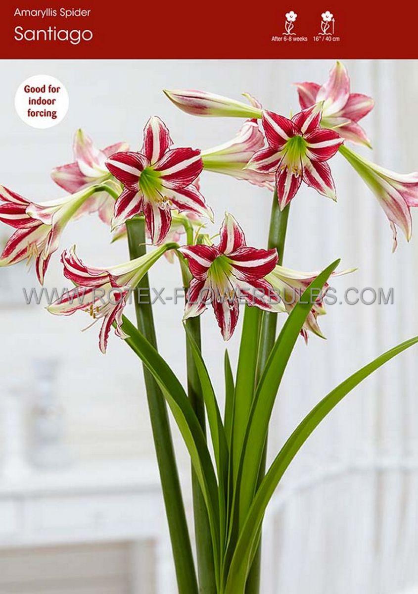 hippeastrum amaryllis specialty trumpet santiago 2628 cm 30 pcarton