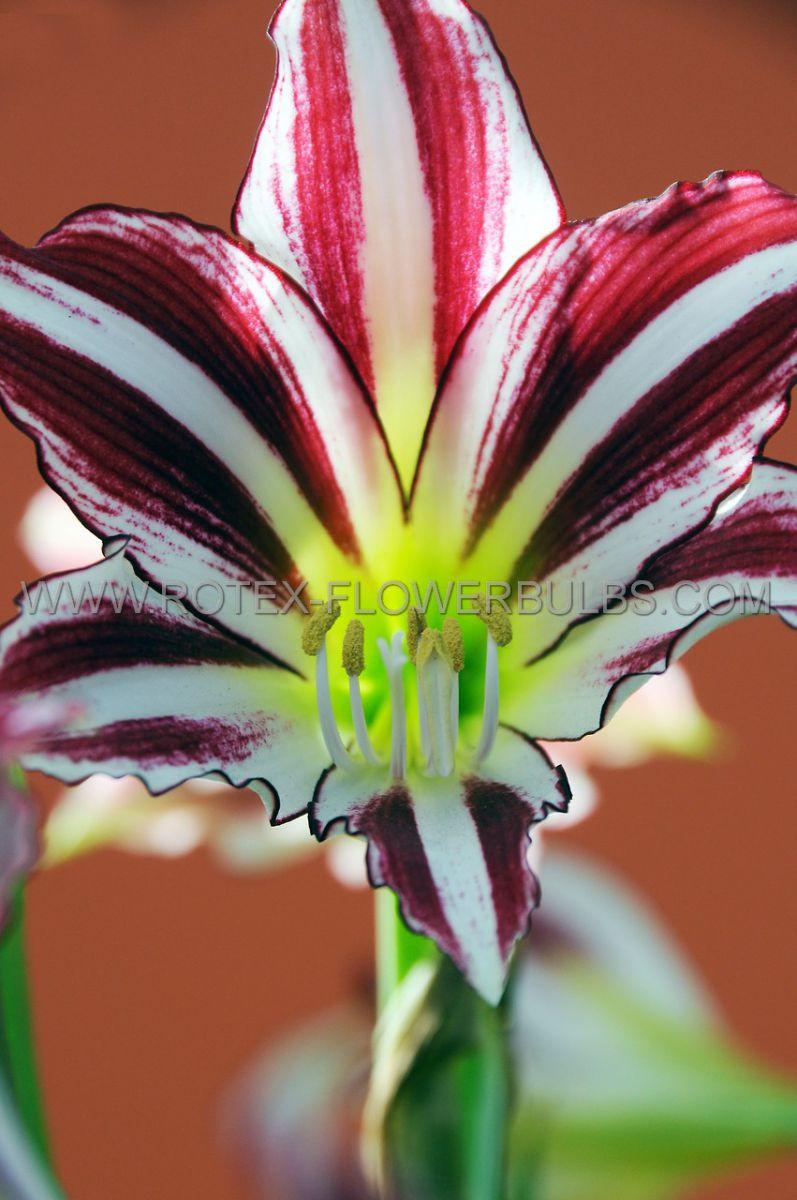 hippeastrum amaryllis specialty trumpet santiago 2628 cm 18 pwooden crate