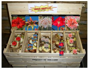 "HIPPEASTRUM (AMARYLLIS UNIQUE): COLL.""K"" ASSORTMENT 34/36 CM. (40 P.WOODEN CRATE)"