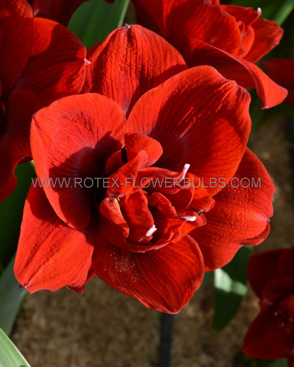 hippeastrum amaryllis unique double flowering amarantia 3436 cm 6 popen top box