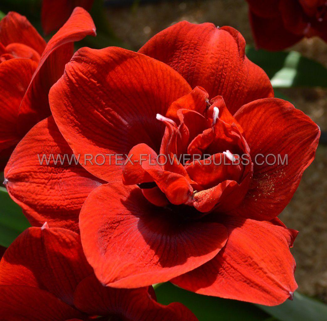 hippeastrum amaryllis unique double flowering amarantia 3436 cm 6 popen top box