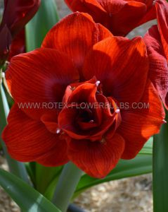 HIPPEASTRUM (AMARYLLIS UNIQUE) DOUBLE FLOWERING 'AMARANTIA' 34/36 CM. (30 P.CARTON)