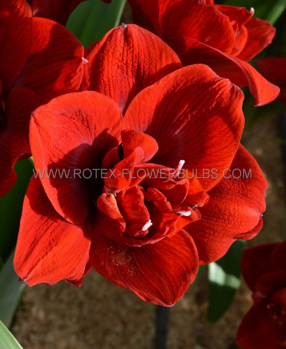 hippeastrum amaryllis unique double flowering amarantia 3436 cm 30 pcarton