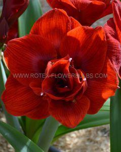 HIPPEASTRUM (AMARYLLIS UNIQUE) DOUBLE FLOWERING 'AMARANTIA' 34/36 CM. (12 P.WOODEN CRATE)