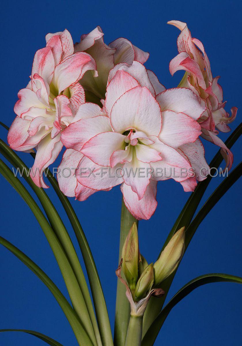 hippeastrum amaryllis unique double flowering aphrodite 3436 cm 30 pcarton