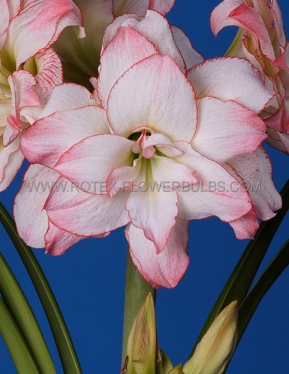 hippeastrum amaryllis unique double flowering aphrodite 3436 cm 12 pwooden crate