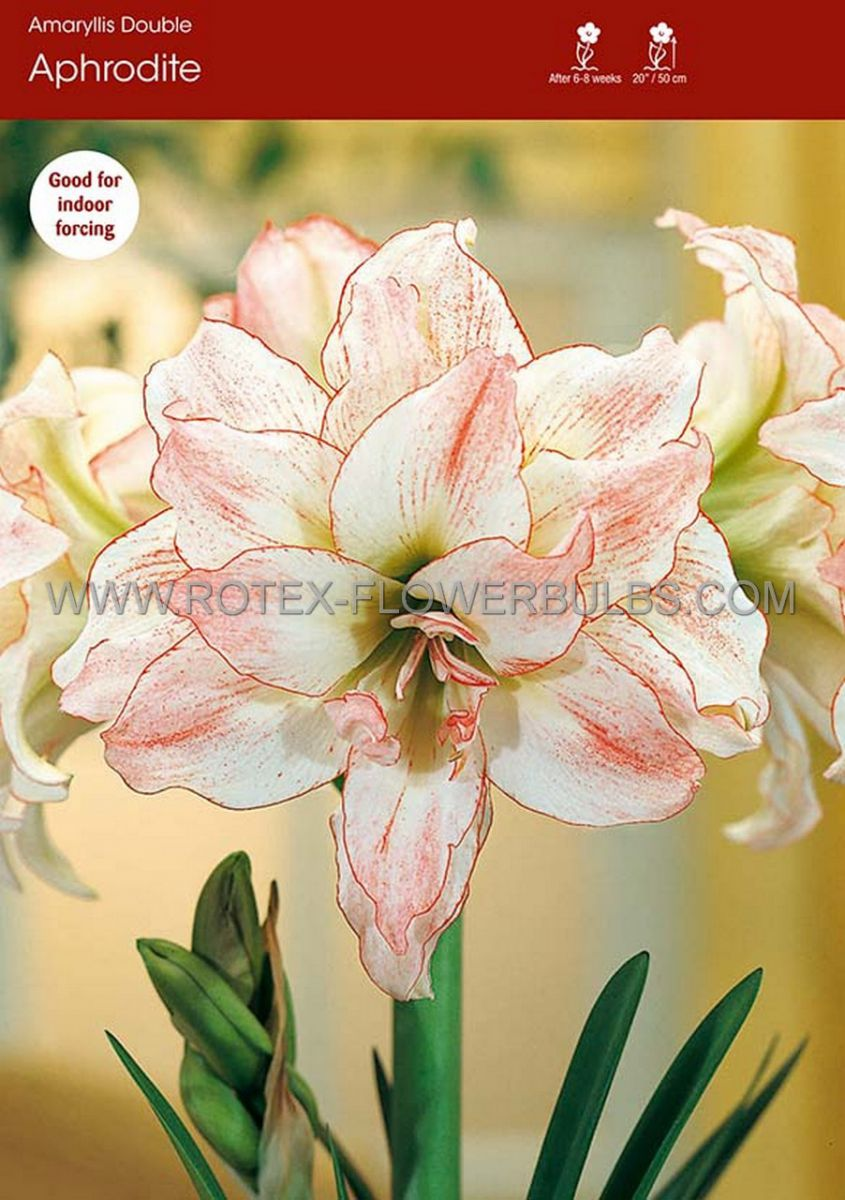 hippeastrum amaryllis unique double flowering aphrodite 3436 cm 12 pwooden crate