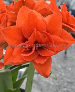 HIPPEASTRUM (AMARYLLIS UNIQUE) DOUBLE FLOWERING 'CELICA' 34/36 CM. (12 P.WOODEN CRATE)