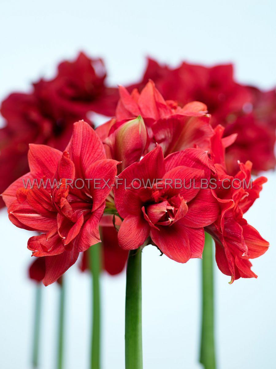 hippeastrum amaryllis unique double flowering diva 3436 cm 30 pcarton