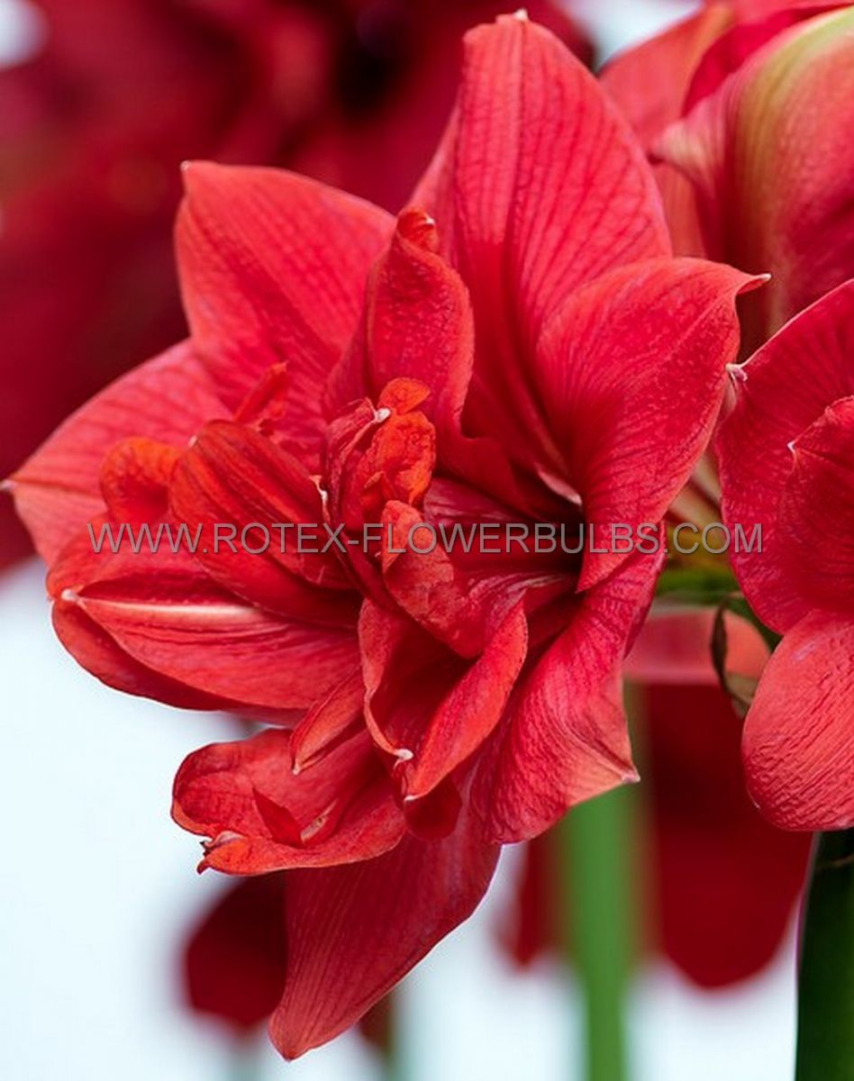 hippeastrum amaryllis unique double flowering diva 3436 cm 12 pwooden crate