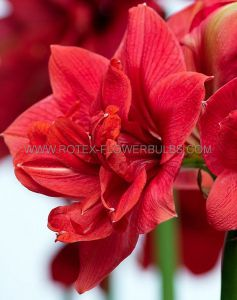 HIPPEASTRUM (AMARYLLIS UNIQUE) DOUBLE FLOWERING 'DIVA' 34/36 CM. (12 P.WOODEN CRATE)