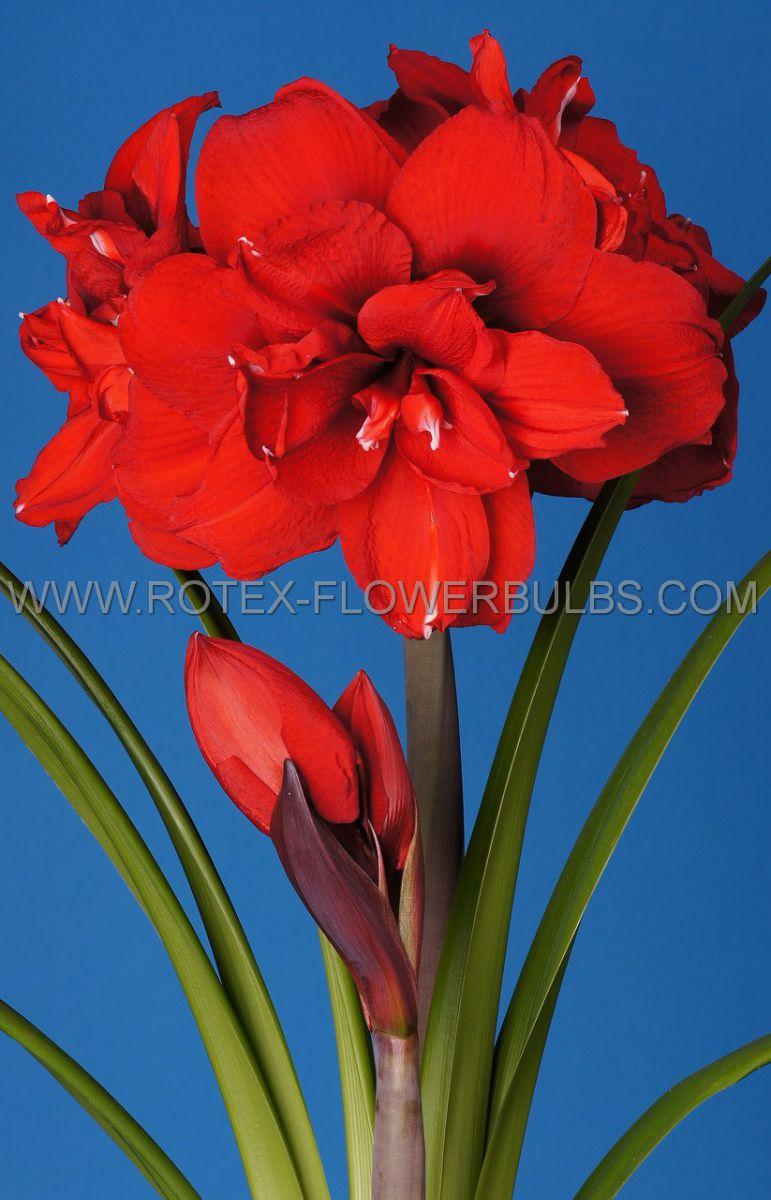 hippeastrum amaryllis unique double flowering double king 3436 cm 6 popen top box
