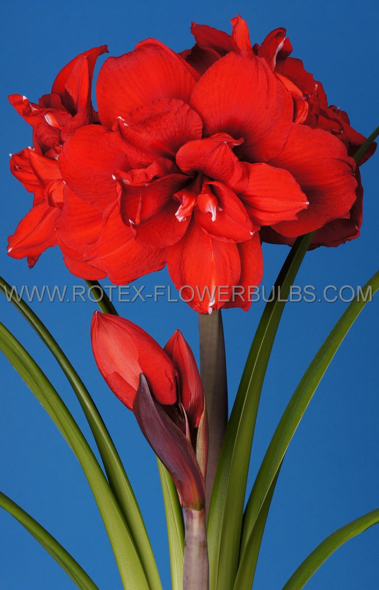 hippeastrum amaryllis unique double flowering double king 3436 cm 30 pcarton