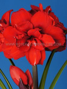 HIPPEASTRUM (AMARYLLIS UNIQUE) DOUBLE FLOWERING 'DOUBLE KING' 34/36 CM. (12 P.WOODEN CRATE)