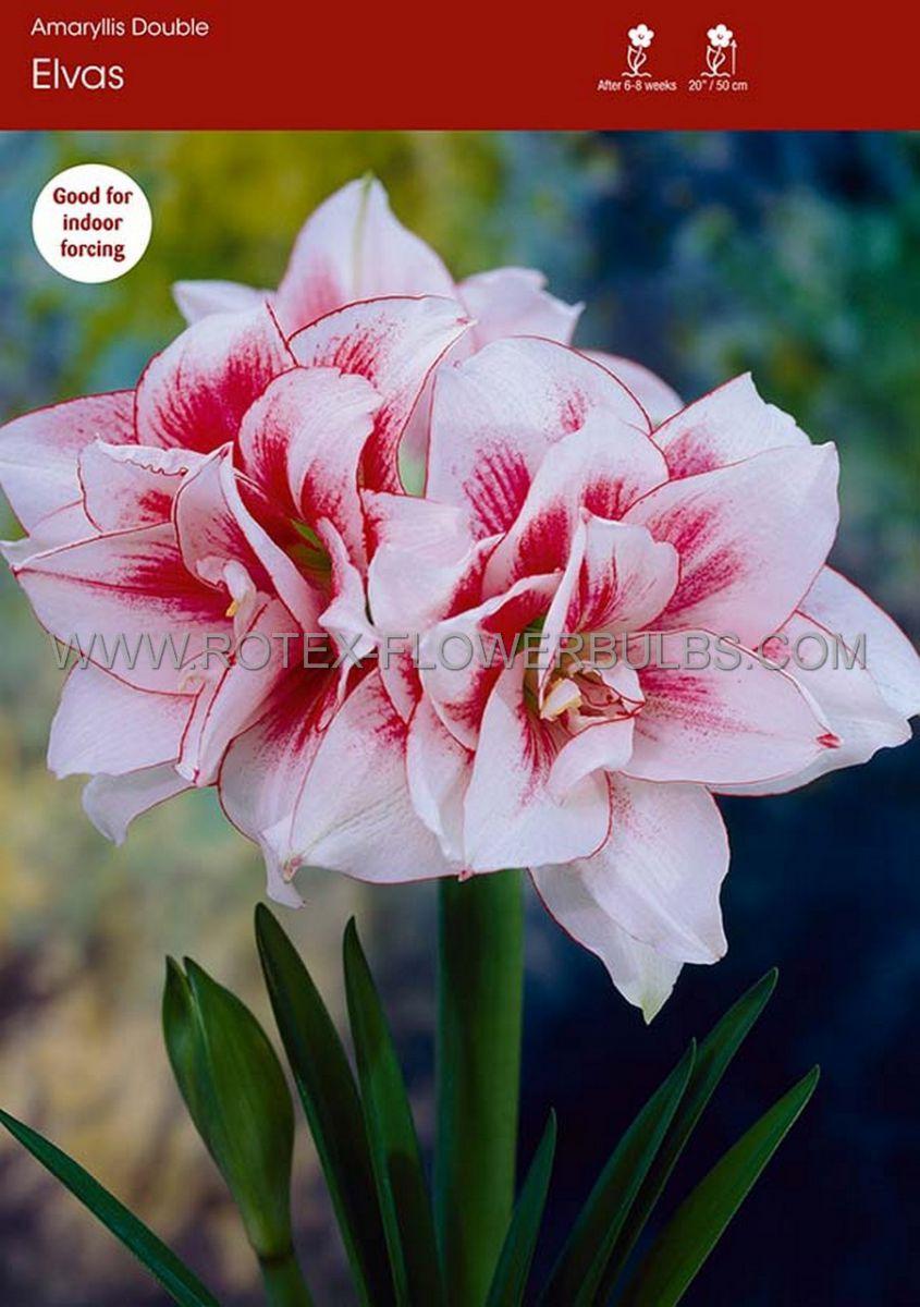 hippeastrum amaryllis unique double flowering elvas 3436 cm 6 popen top box