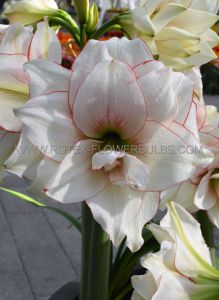HIPPEASTRUM (AMARYLLIS UNIQUE) DOUBLE FLOWERING 'ELVAS' 34/36 CM. (12 P.WOODEN CRATE)
