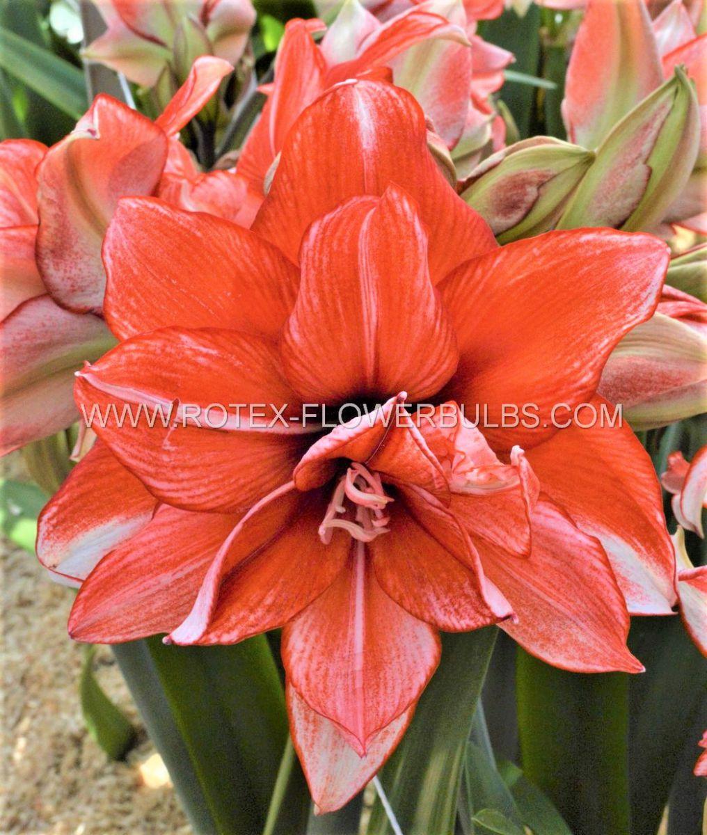 hippeastrum amaryllis unique double flowering flamed amadeus 3436 cm 12 pwooden crate