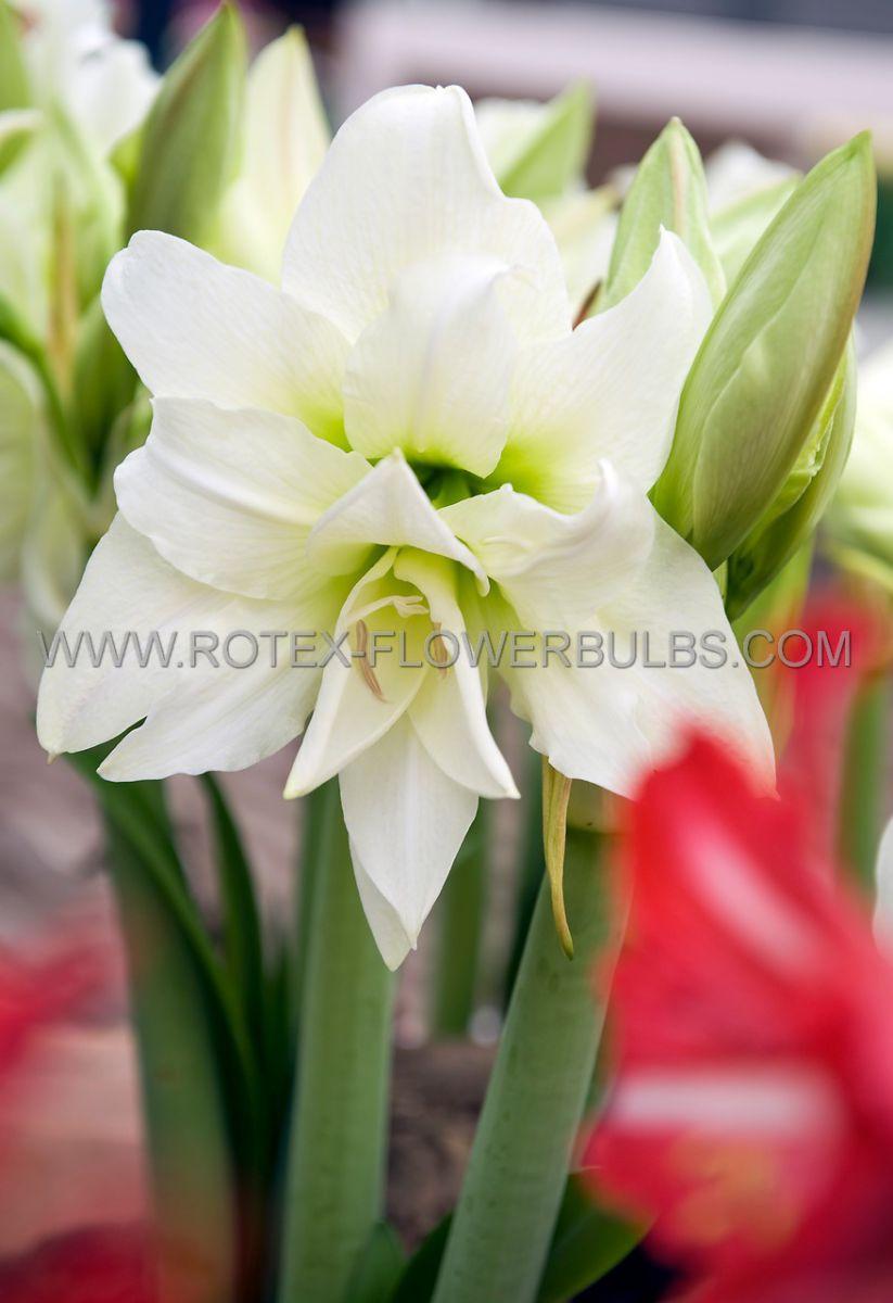 hippeastrum amaryllis unique double flowering ice queen 3436 cm 6 popen top box