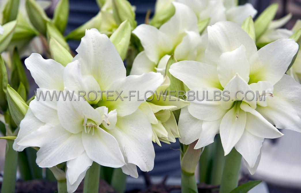 hippeastrum amaryllis unique double flowering ice queen 3436 cm 30 pcarton