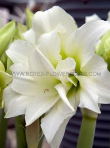 HIPPEASTRUM (AMARYLLIS UNIQUE) DOUBLE FLOWERING 'ICE QUEEN' 34/36 CM. (12 P.WOODEN CRATE)