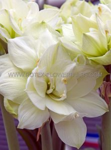 HIPPEASTRUM (AMARYLLIS UNIQUE) DOUBLE FLOWERING 'MARILYN' 34/36 CM. (12 P.WOODEN CRATE)
