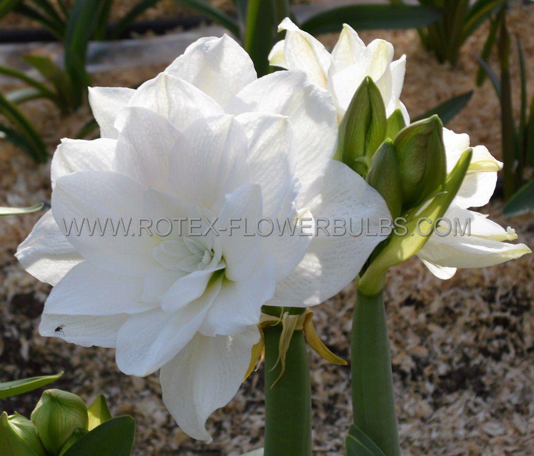 hippeastrum amaryllis unique double flowering marilyn 3436 cm 12 pwooden crate