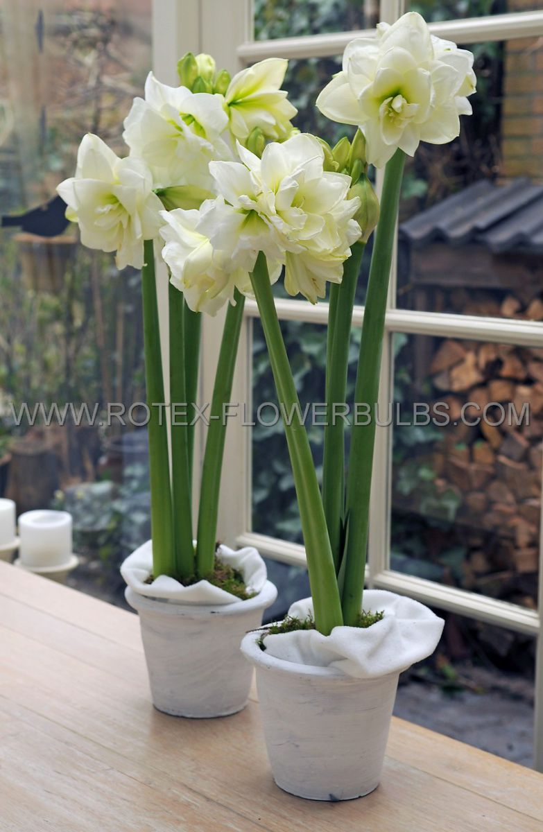 hippeastrum amaryllis unique double flowering marilyn 3436 cm 12 pwooden crate