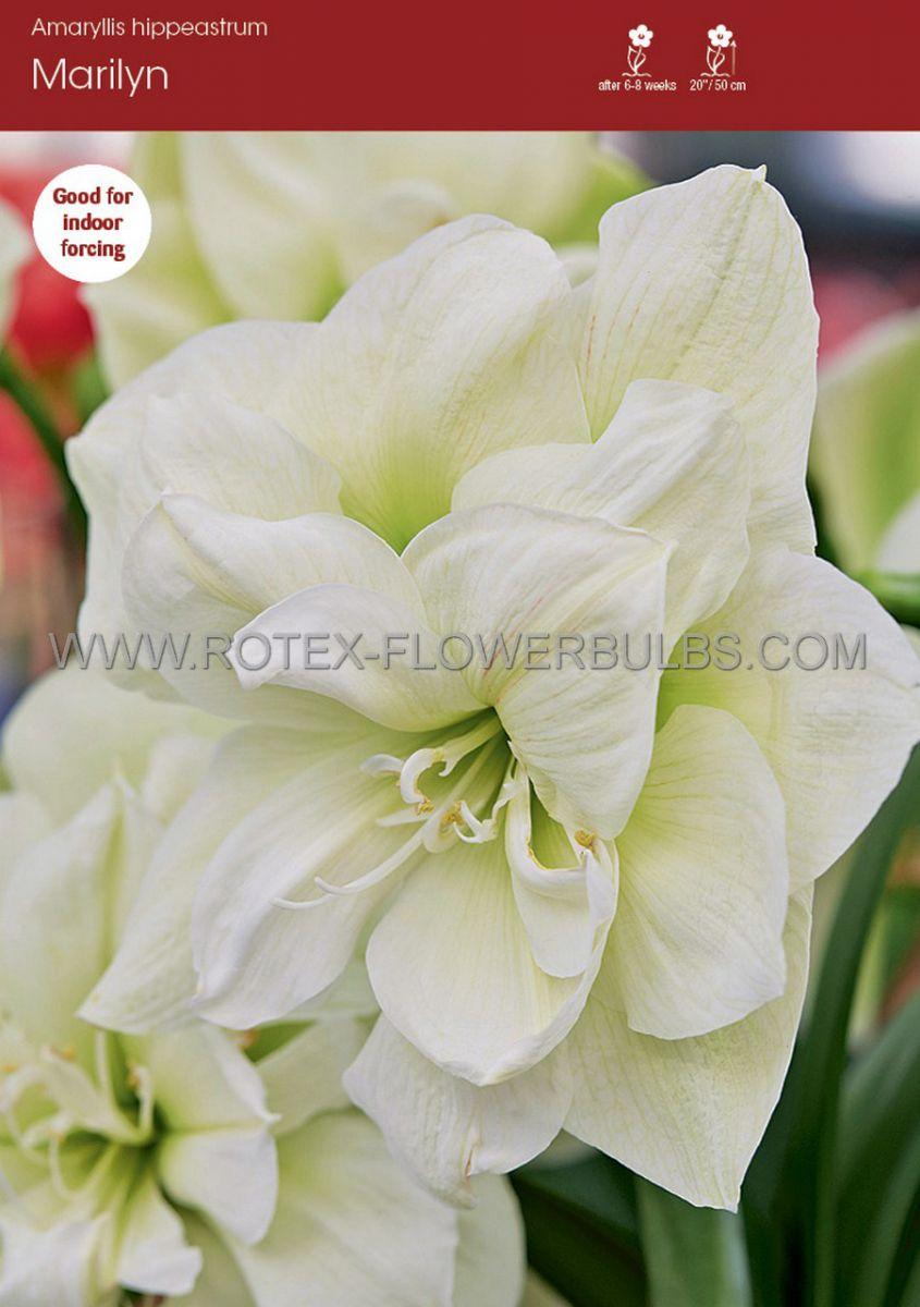 hippeastrum amaryllis unique double flowering marilyn 3436 cm 6 popen top box