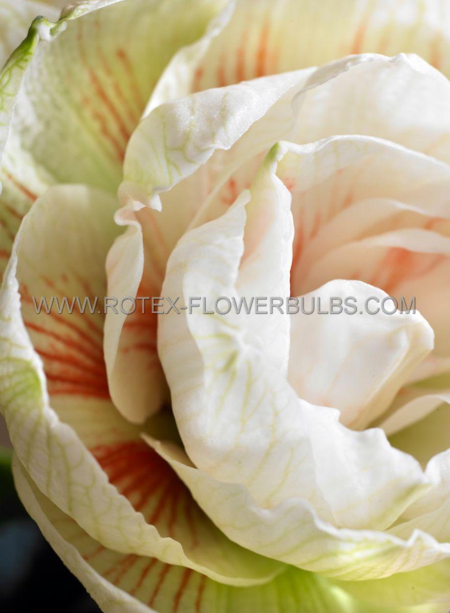 hippeastrum amaryllis unique double flowering nymph 3436 cm 30 pcarton