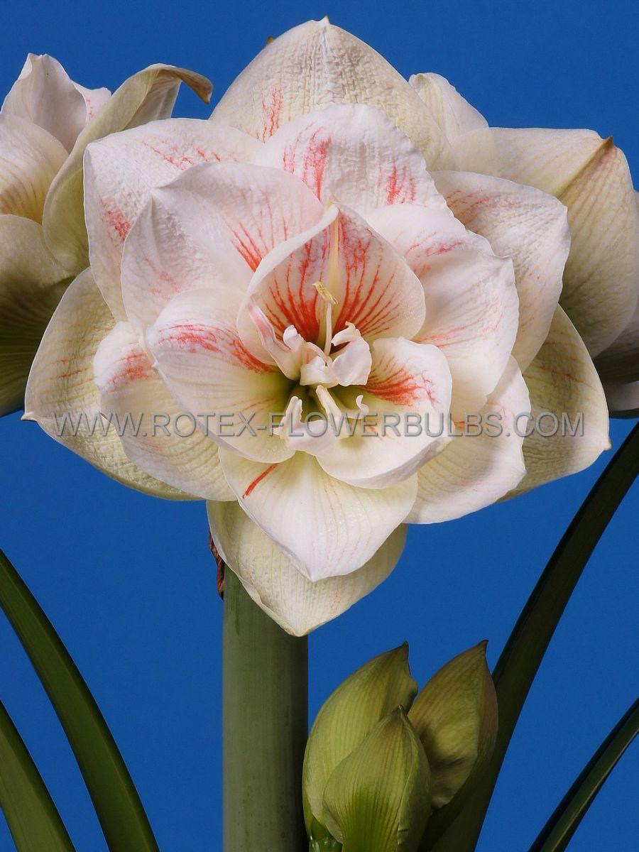 hippeastrum amaryllis unique double flowering nymph 3436 cm 12 pwooden crate