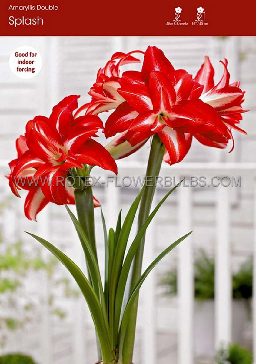 hippeastrum amaryllis unique double flowering splash 3436 cm 6 popen top box