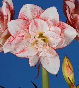 HIPPEASTRUM (AMARYLLIS UNIQUE) DOUBLE FLOWERING 'STRIPED AMADEUS' 34/36 CM. (6 P.OPEN TOP BOX)