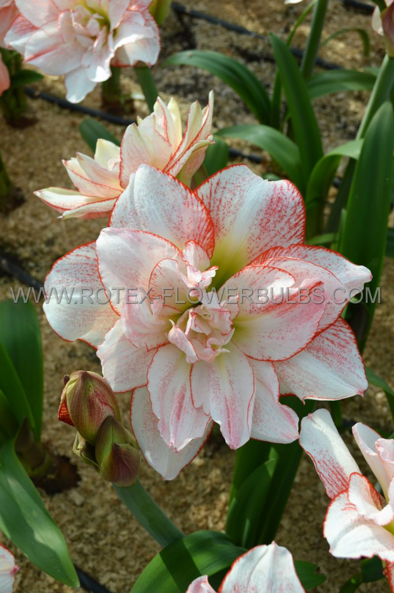 hippeastrum amaryllis unique double flowering striped amadeus 3436 cm 6 popen top box