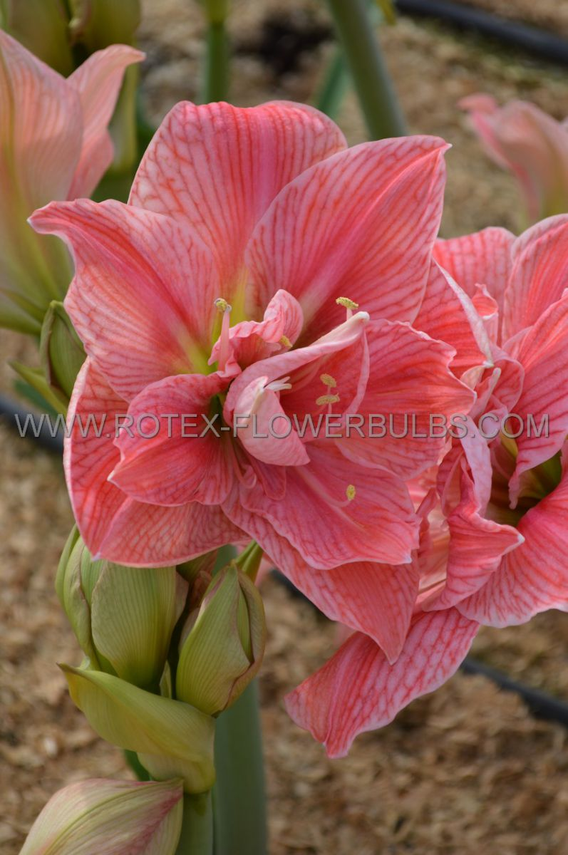 hippeastrum amaryllis unique double flowering sweet nymph 3436 cm 12 pwooden crate