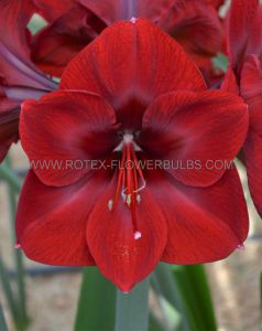 HIPPEASTRUM (AMARYLLIS UNIQUE) LARGE FLOWERING 'BENFICA' 34/36 CM. (6 P.OPEN TOP BOX)