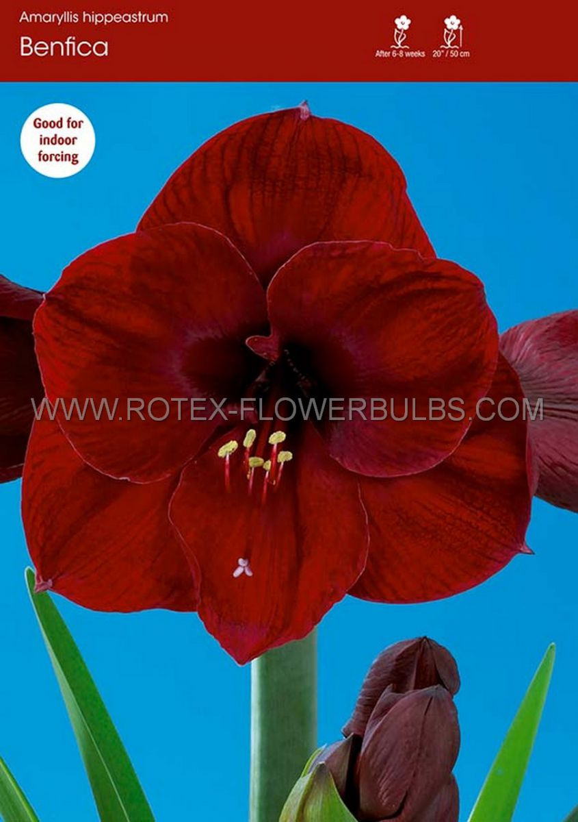 hippeastrum amaryllis unique large flowering benfica 3436 cm 6 popen top box