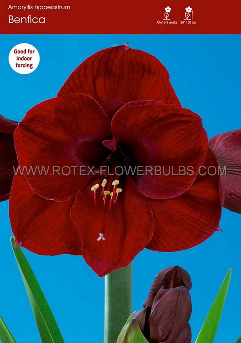 hippeastrum amaryllis unique large flowering benfica 3436 cm 6 popen top box