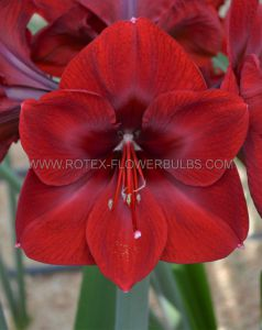 HIPPEASTRUM (AMARYLLIS UNIQUE) LARGE FLOWERING 'BENFICA' 34/36 CM. (12 P.WOODEN CRATE)